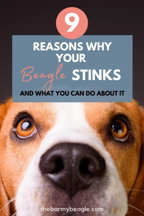 9 reasons why your beagle stinks and how to fix it