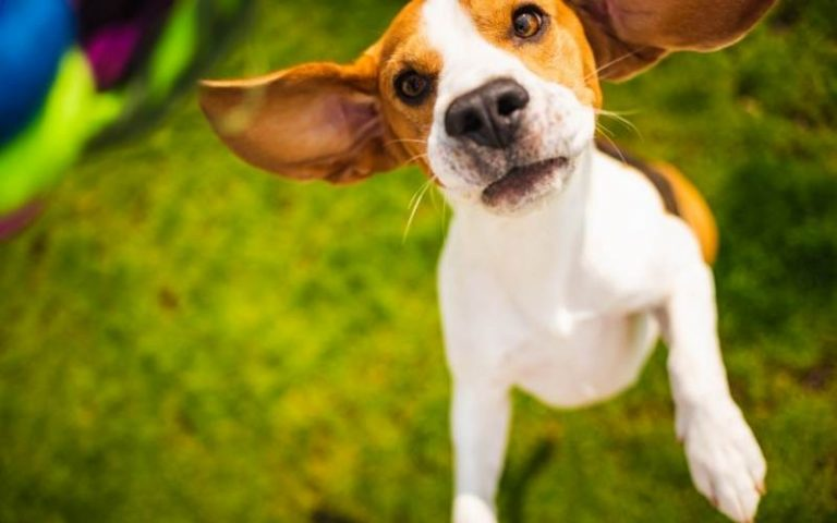 beagle barking for attention
