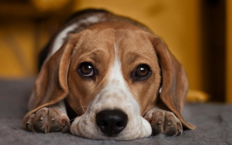how to stop your beagle from being bored