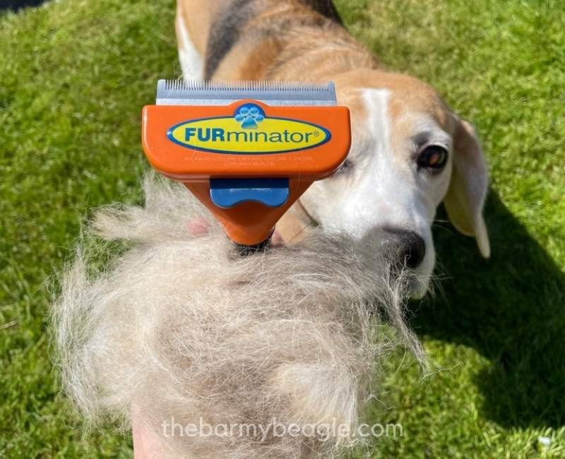 furminator must-have items for a beagle