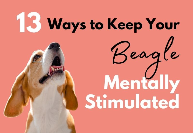 13 fun ways to keep your beagle entertained