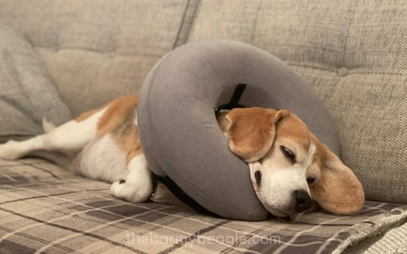 do inflatable collars work for beagles