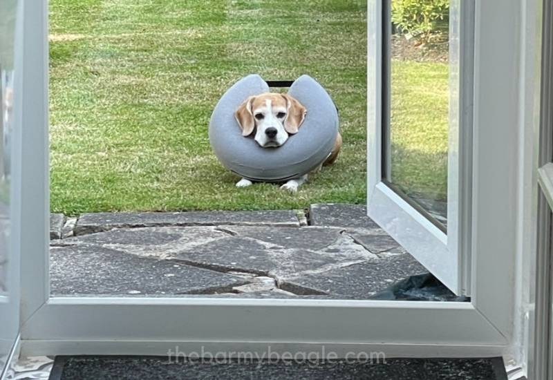 inflatable collars for beagles best color