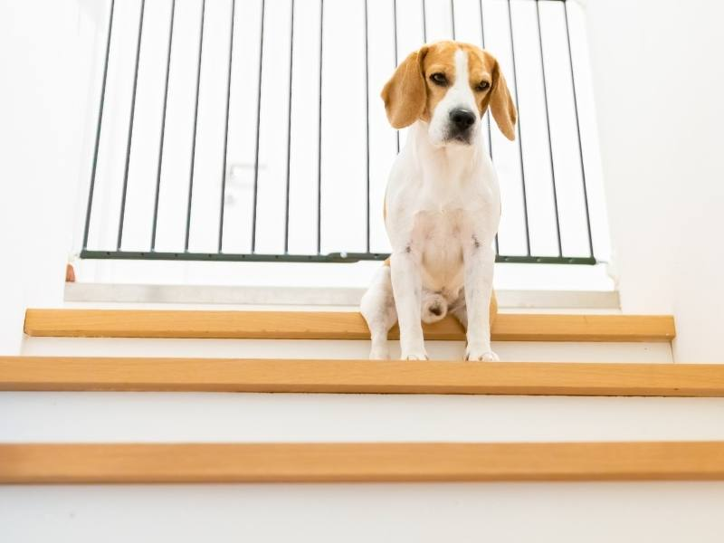 49 must have items for a beagle and your home