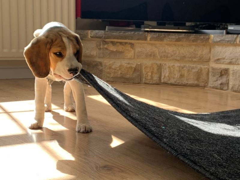 beagle puppies why they need to be crated