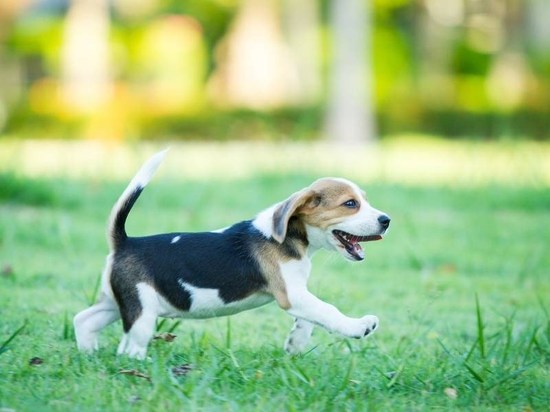 beagle puppy crate exercise