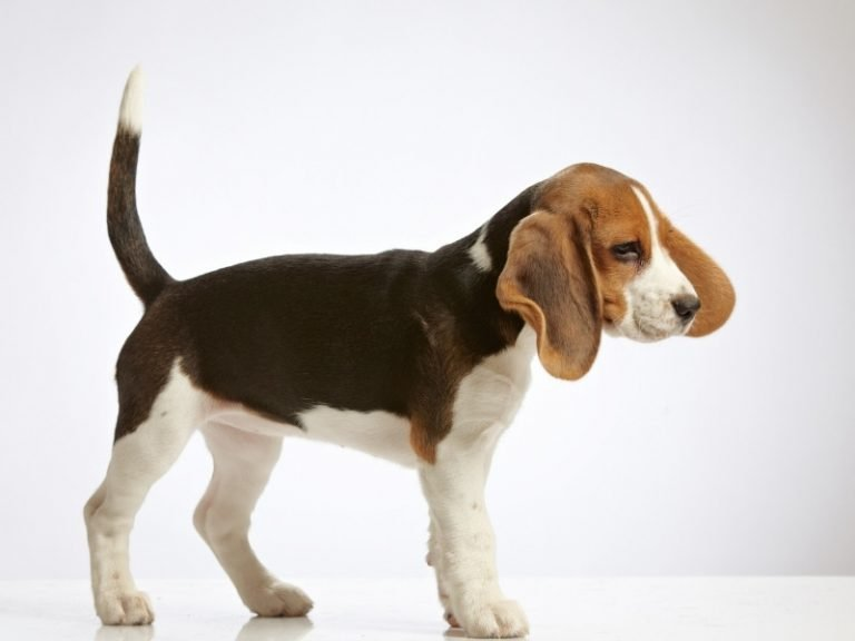 beagle puppy crate training day 1 guide