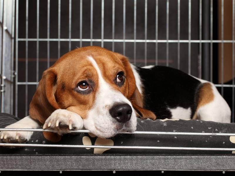 beagle puppy crate training dos and donts