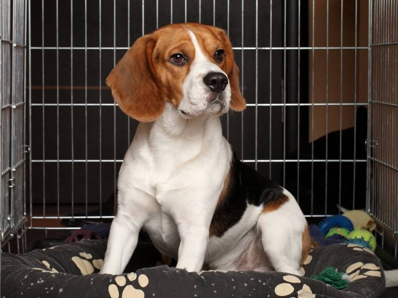 beagle puppy crate training guide 2