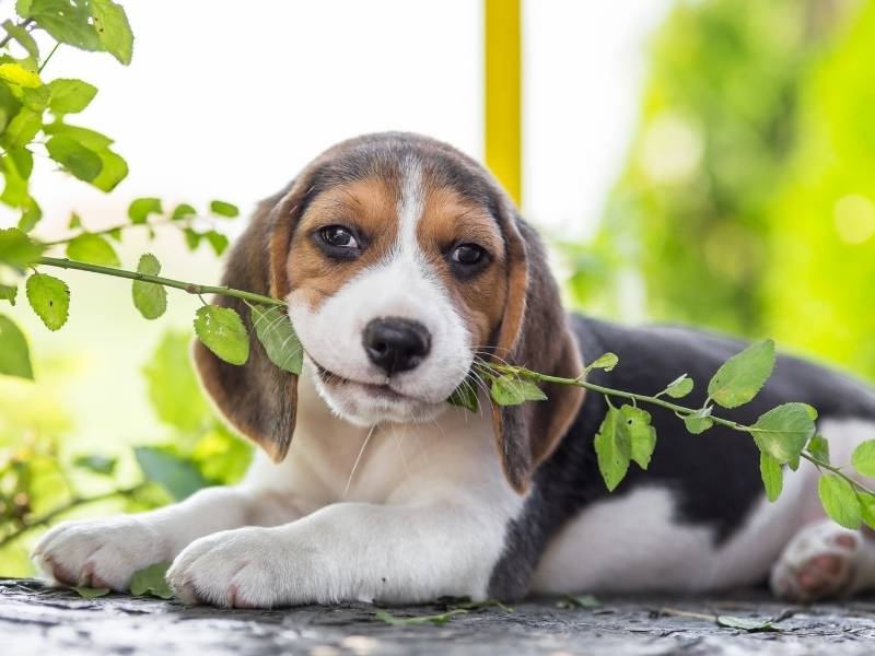 beagle puppy crate training is necessary