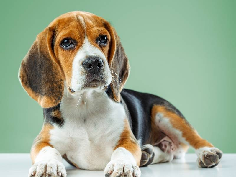 beagle puppy crate training tips