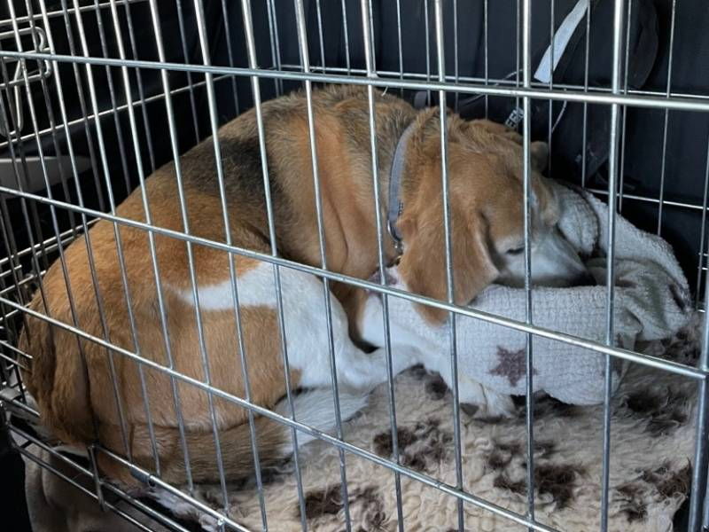 beagle puppy travel crate guide