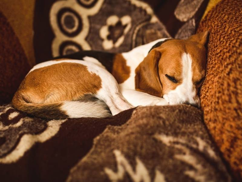 beagle transition away from crate