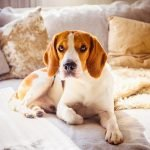 essential items for a beagle and your home